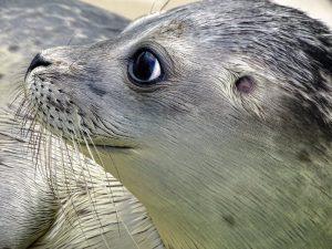 Sylt Sehenswürdigkeiten Seehund